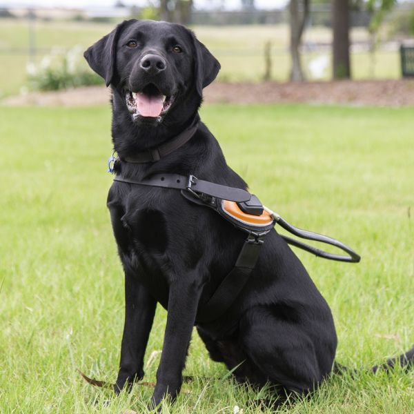 Image shows Jonah sitting proudly in a Guide Dog harness.