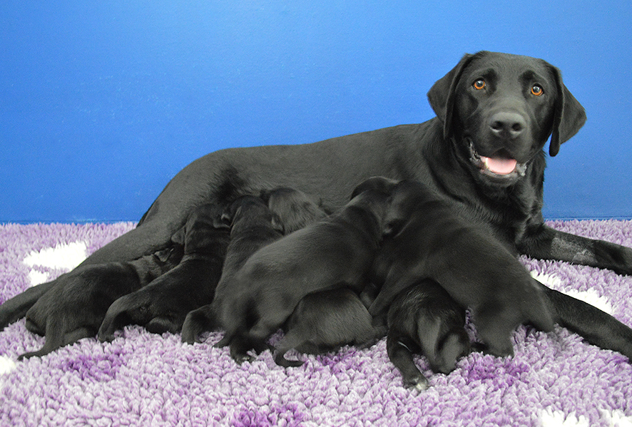 Image shows Wanda lying on purple blanket feeding her puppies. All dogs are black.