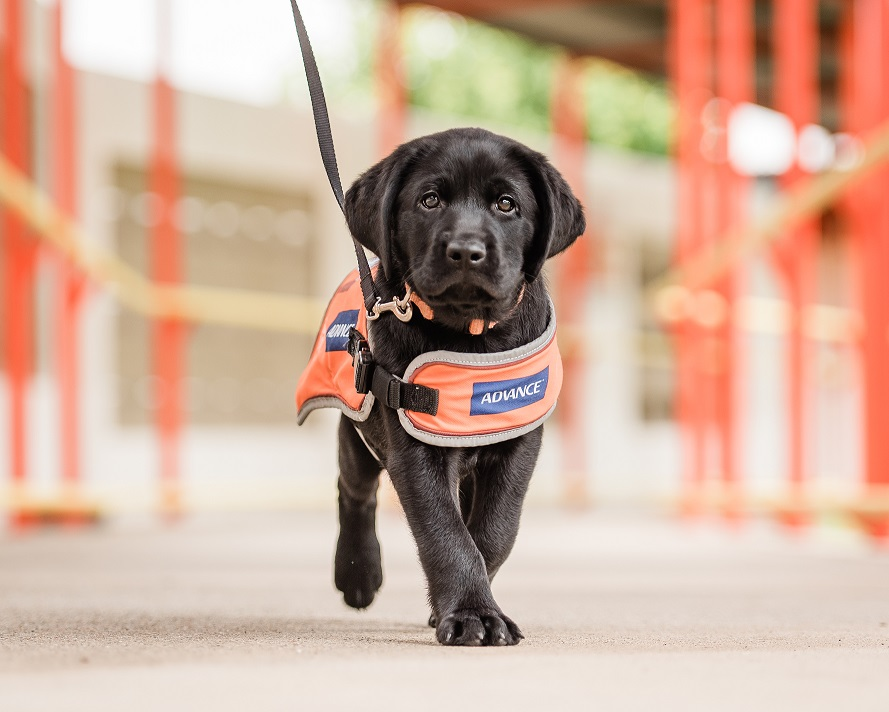 Image shows Guide Dog puppy walking on lead with orange coat on.